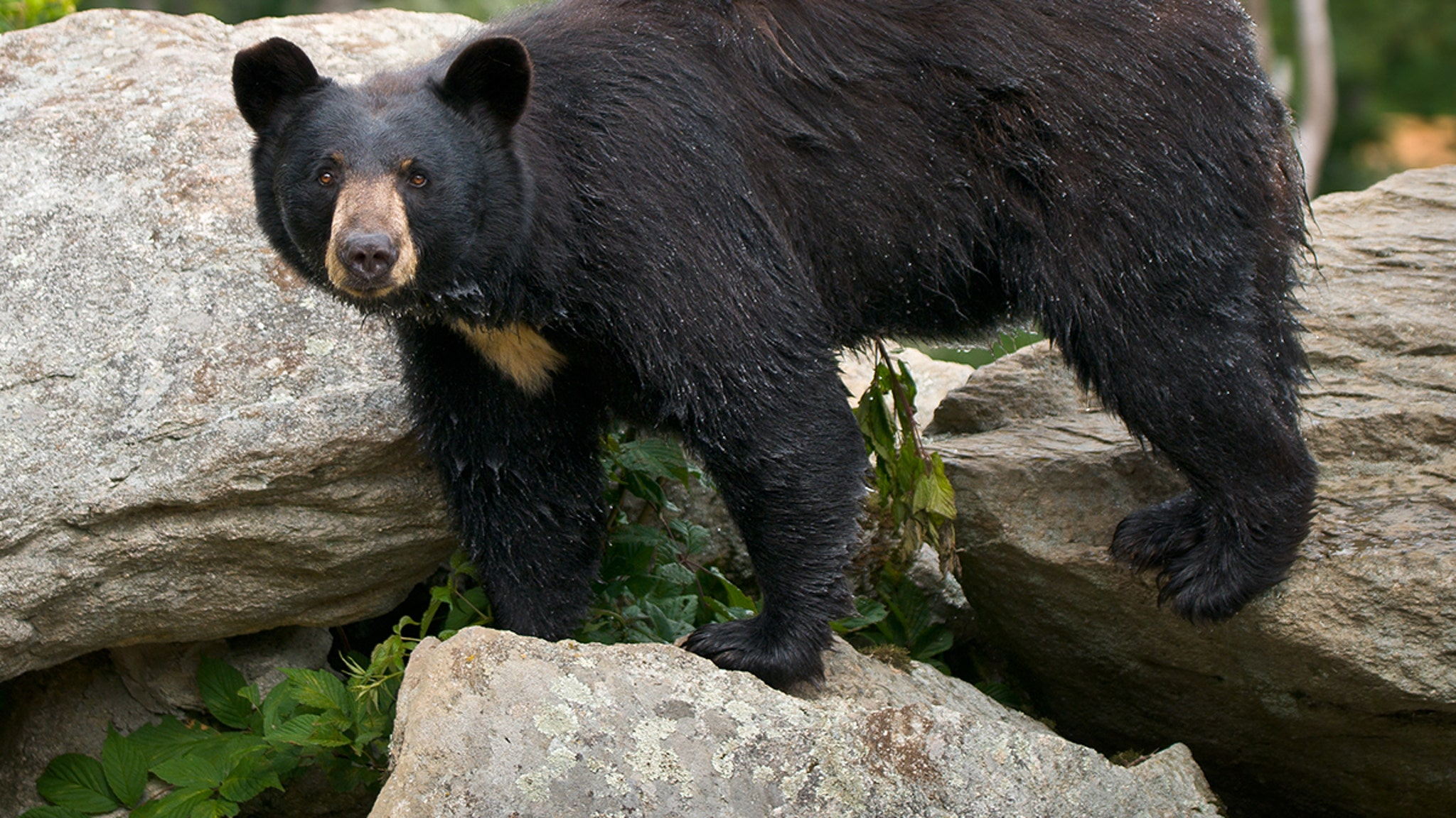 Great Smoky Mountains Bear Found Eating Human Remains!!! (They're Not ALL Cuddly)