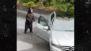 Bear Attempts to Jack Mercedes As Car Owners Scream