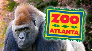 13 Gorillas Test Positive for COVID at Zoo Atlanta