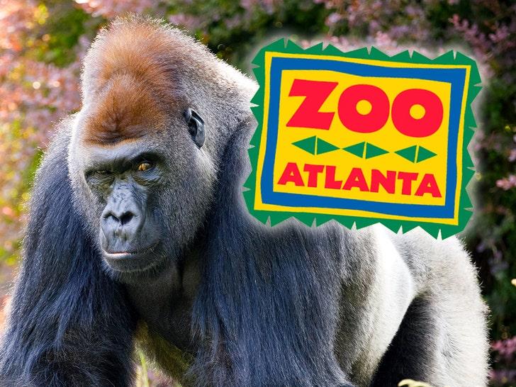 gorilla zoo atlanta
