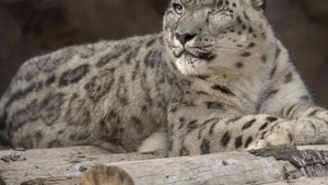 San Diego Zoo's Ramil the Snow Leopard Tests Positive for the Coronavirus