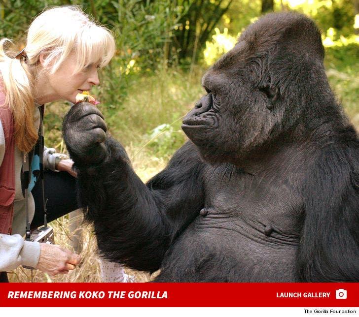 Remembering Koko the Gorilla