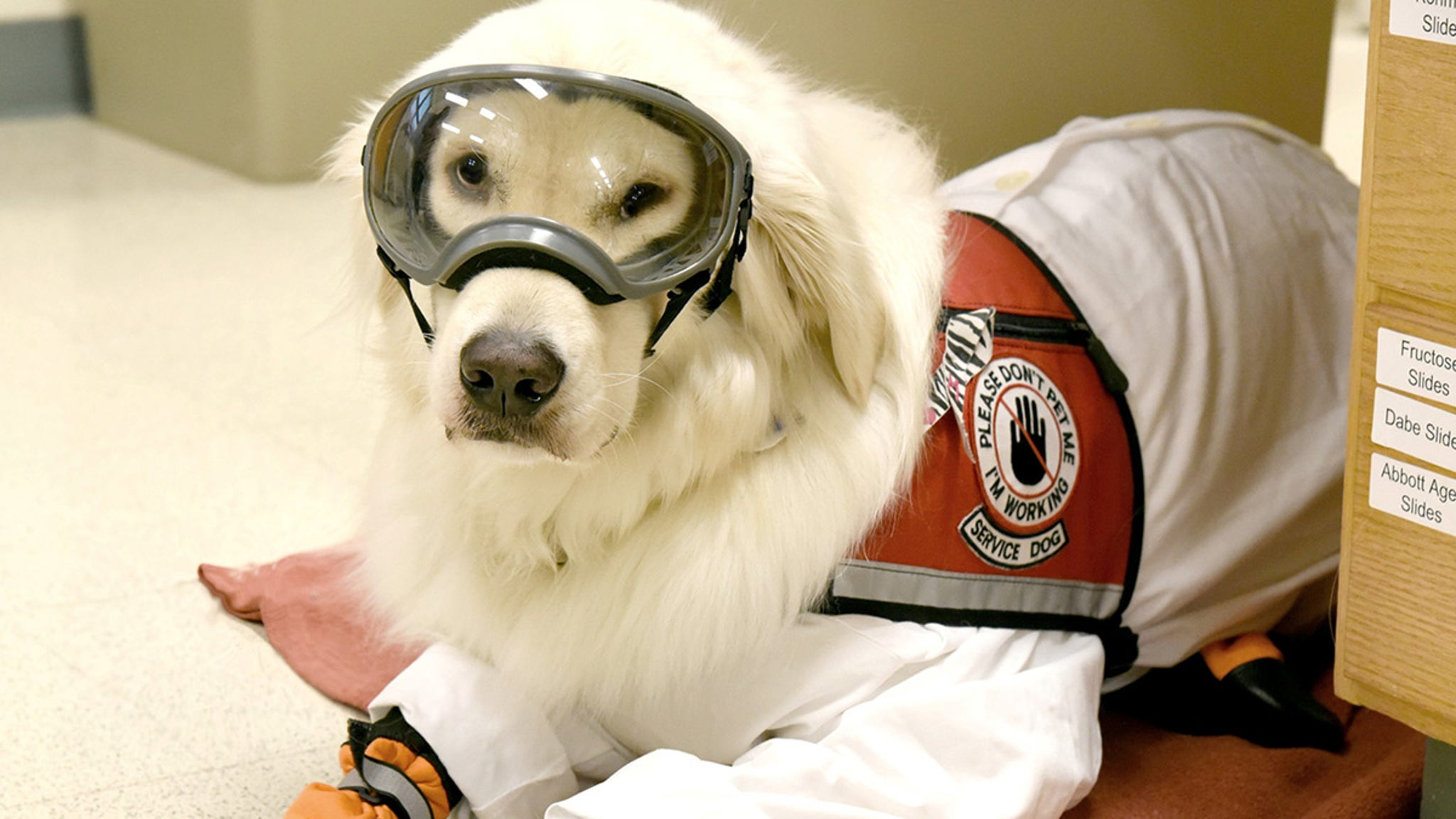 Super Service Dog Scientist's Best Friend ... Wears PPE in the Lab!!!