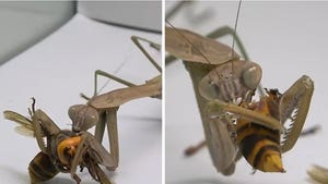 Praying Mantis Attacks, Kills, Eats Murder Hornet