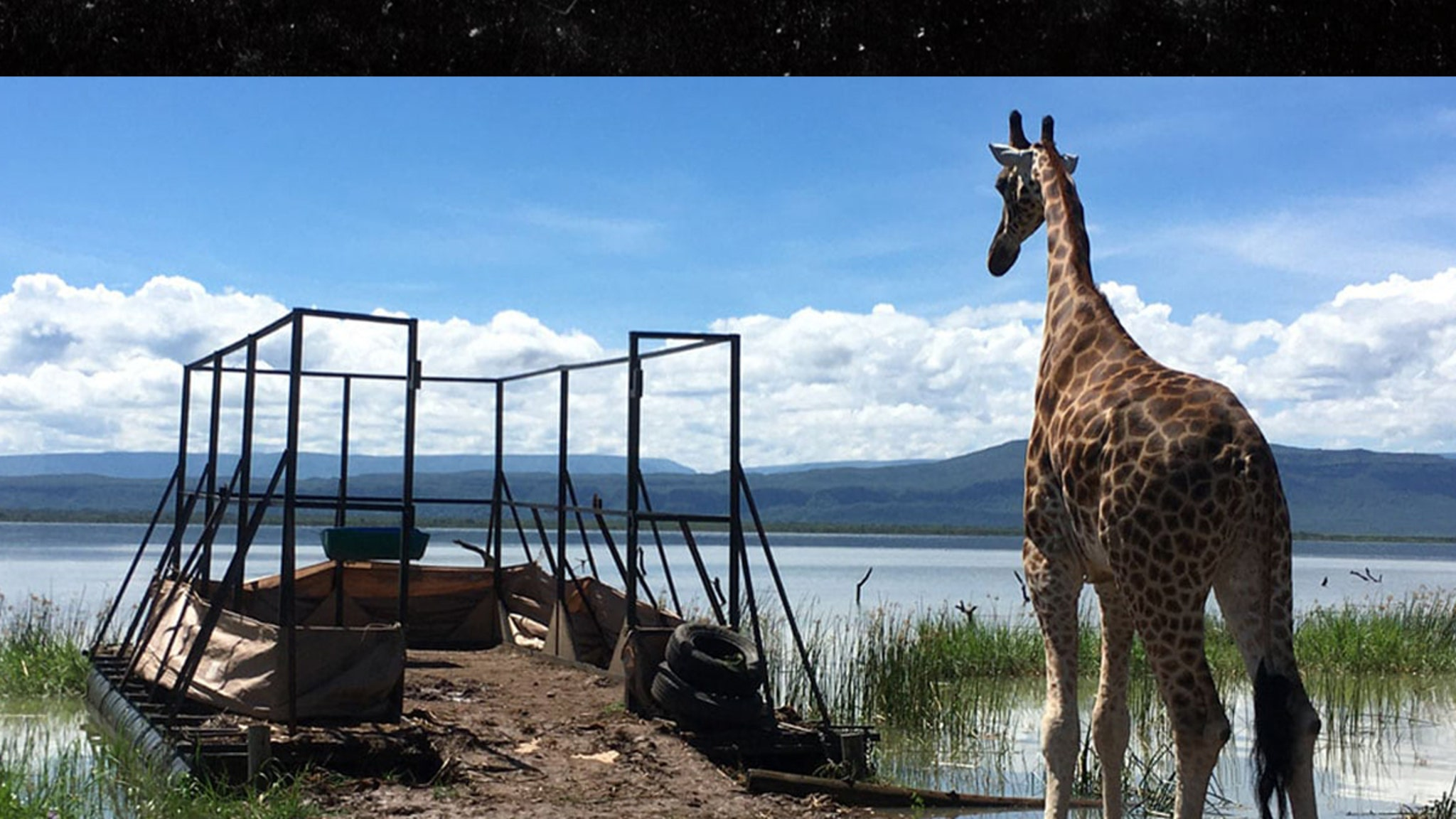 Giraffes Stranded on Island Saved by Floating Rescue Mission -