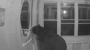 Black Bear Breaks Into Canadian Home Looking for Pizza