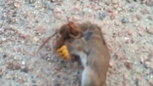 Deadly Hornet Massacres a Mouse on Video, They're Huge