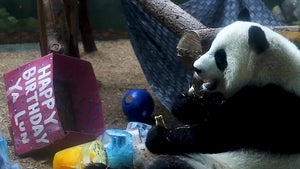 Giant Panda Twins Get Treated Right for 4th Birthday at Atlanta Zoo