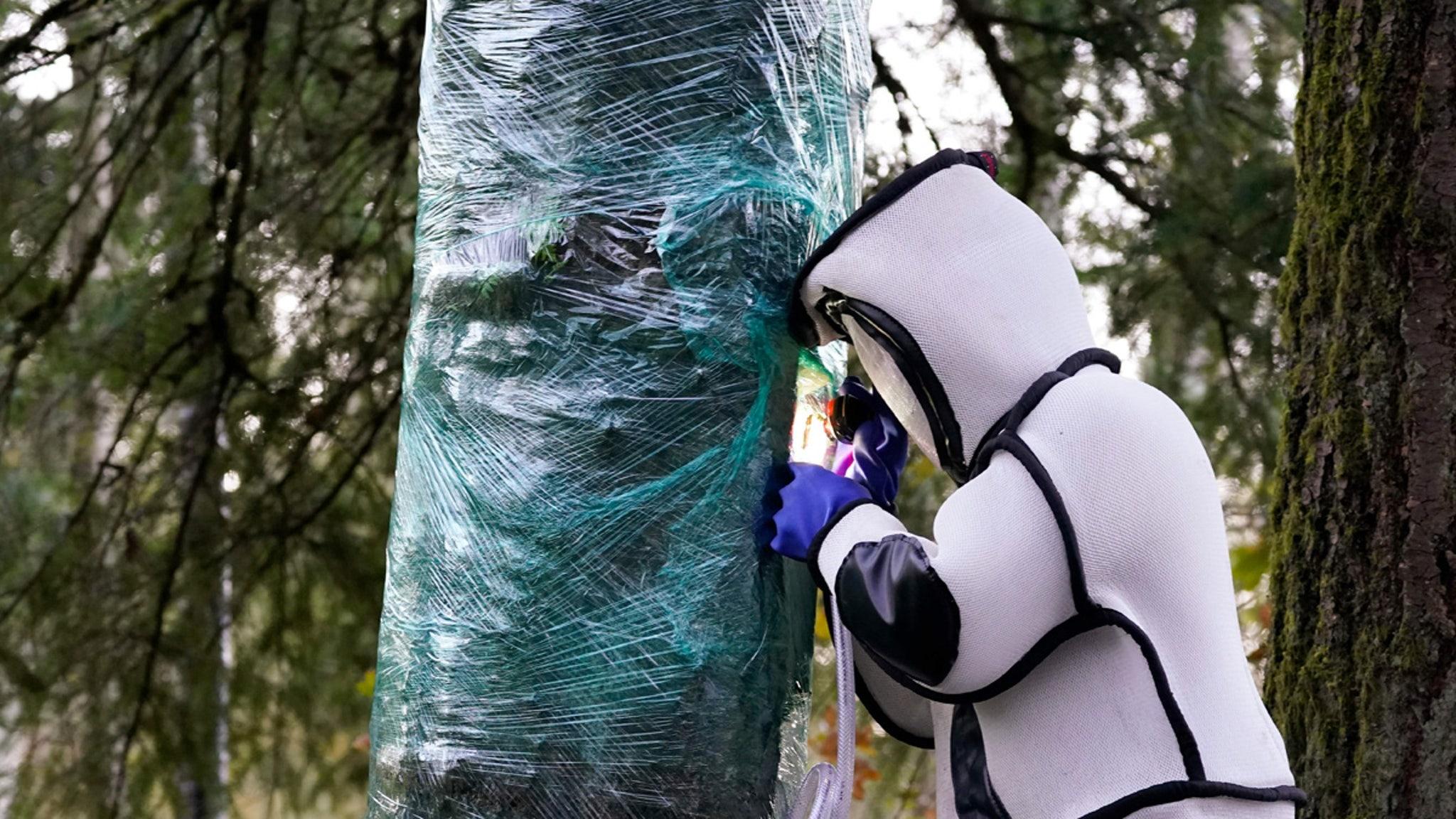 Murder Hornets' Queen She Lives!!! Still in Tree, Job Not Done