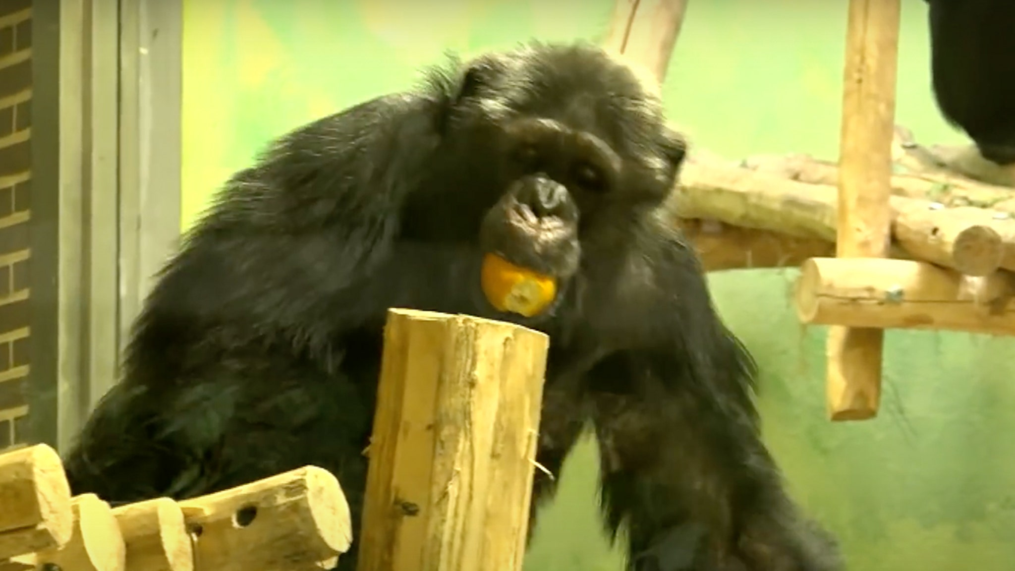 Woman Banned from Zoo Over 'Affair' With Chimp