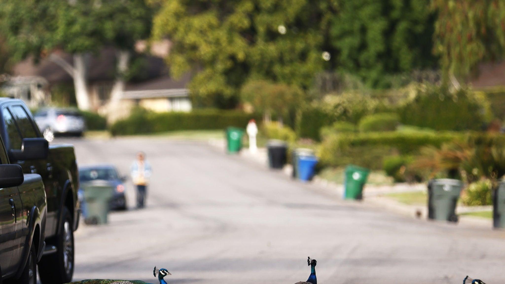 Peacocks Causing Major Problems in L.A. Towns, Their Version of Cicadas thumbnail