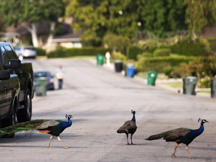 Peacocks In California