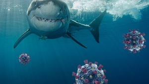 Coronavirus Vaccine Could Result in Half a Million Shark Deaths