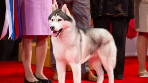 Siberian Husky, Nick, Takes Top Prize at Beverly Hills Dog Show
