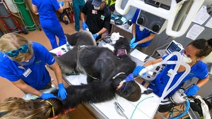 Miami Zoo Gorilla Gets Coronavirus Nasal Swab Test, Amazing Photos