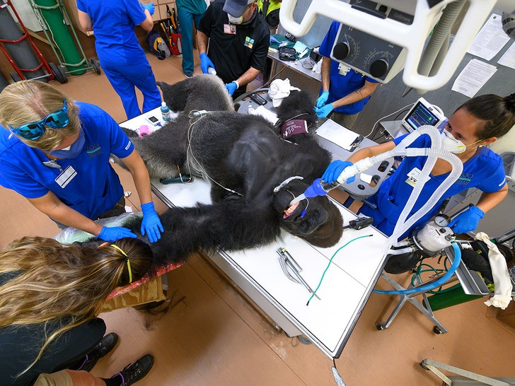 Gorilla Gets Coronavirus Nasal Swab Test