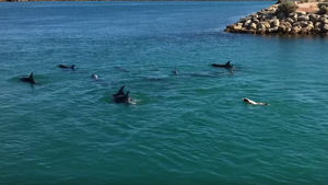 Dog Dives in to Swim With Dolphins and it's Pure Magic
