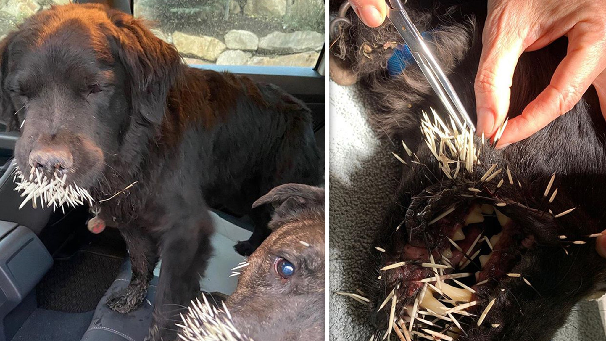 Lindsey Vonn Dogs Attacked By Porcupine 'Incredibly Thankful They're Okay'