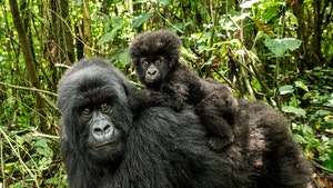 Endangered Gorillas in Africa on Lockdown Over Coronavirus Fears