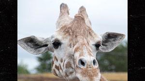 April the Giraffe, Viral Sensation of 2017, Dies at 20
