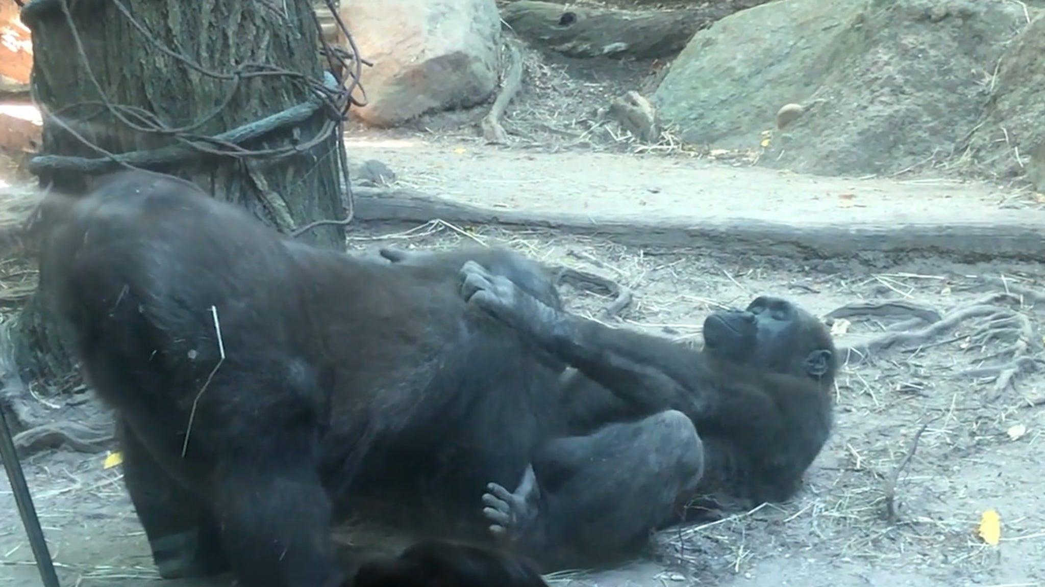 Gorillas Perform Oral Sex at Bronx Zoo, Humans Horrified