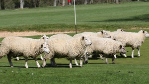 Sheep Take Over Golf Course in England, Act As Greenskeepers