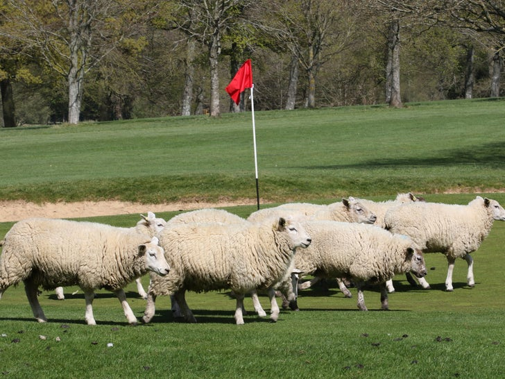 Sheep Take Over As Greenskeepers On English Golf Course