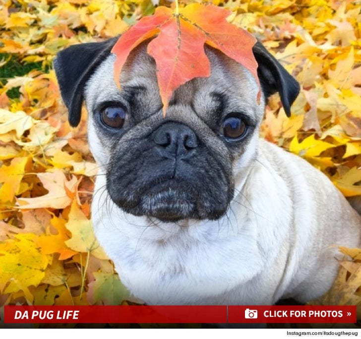 Doug the Pug -- Instagram's Hippest Dog In Fall Bloom!