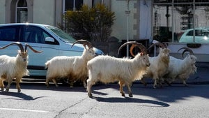 Goats Take Over Town in Wales Because of Lack of People on the Streets
