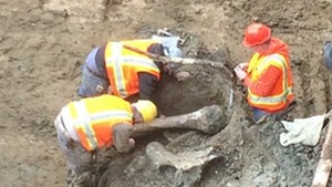 Oregon State -- Digs Up Mammoth Bones ... During Stadium Expansion