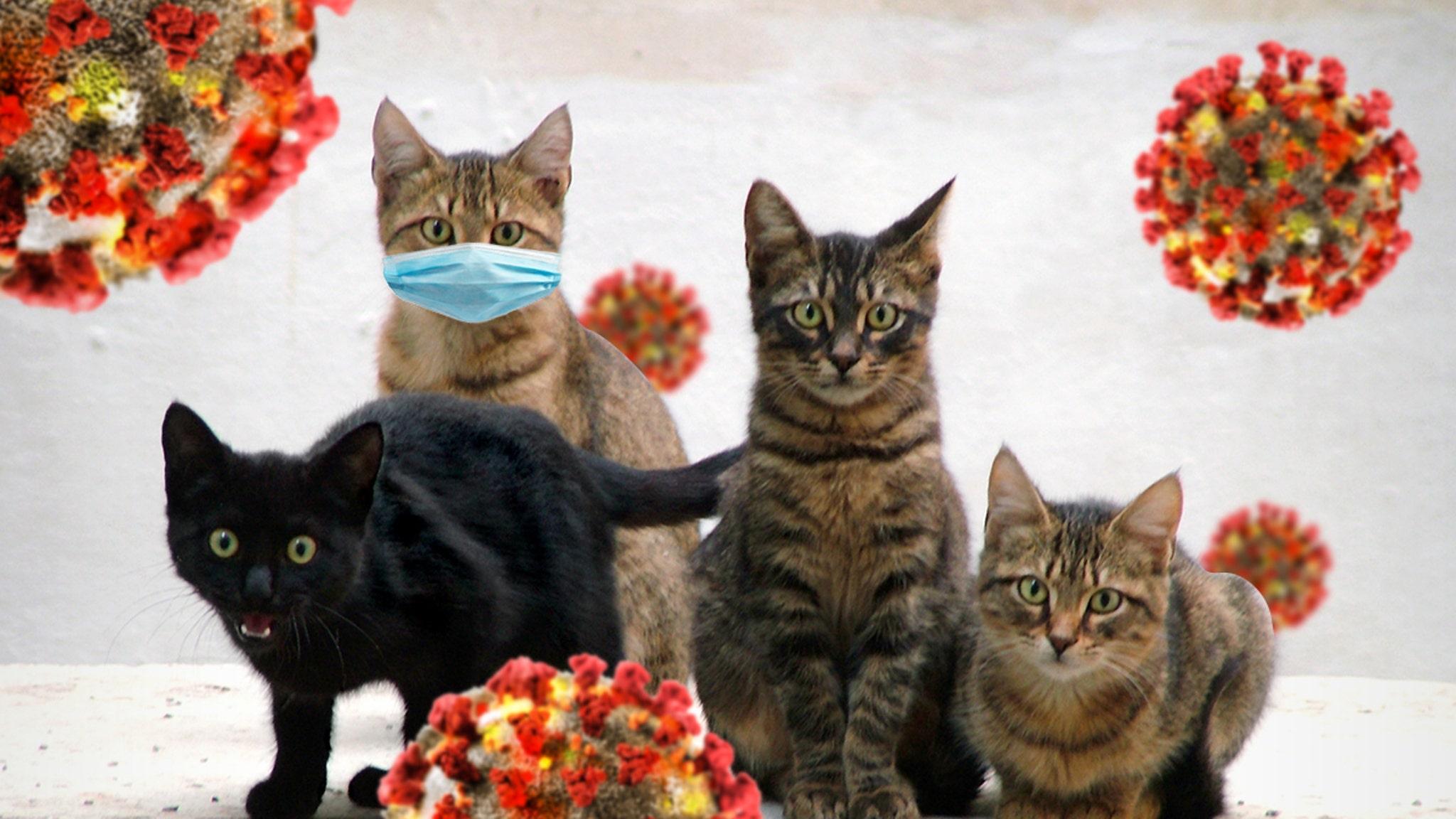 CORONAVIRUS TWO HOUSE CATS CATCH COVID-19 ... Not Feline Fine