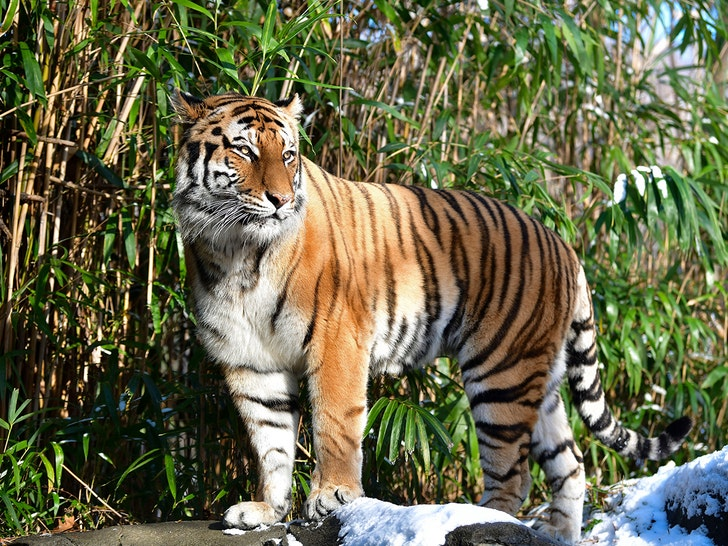 BRONX ZOO TIGER TESTS POSITIVE FOR COVID-19 ... First U.S.-Based Animal