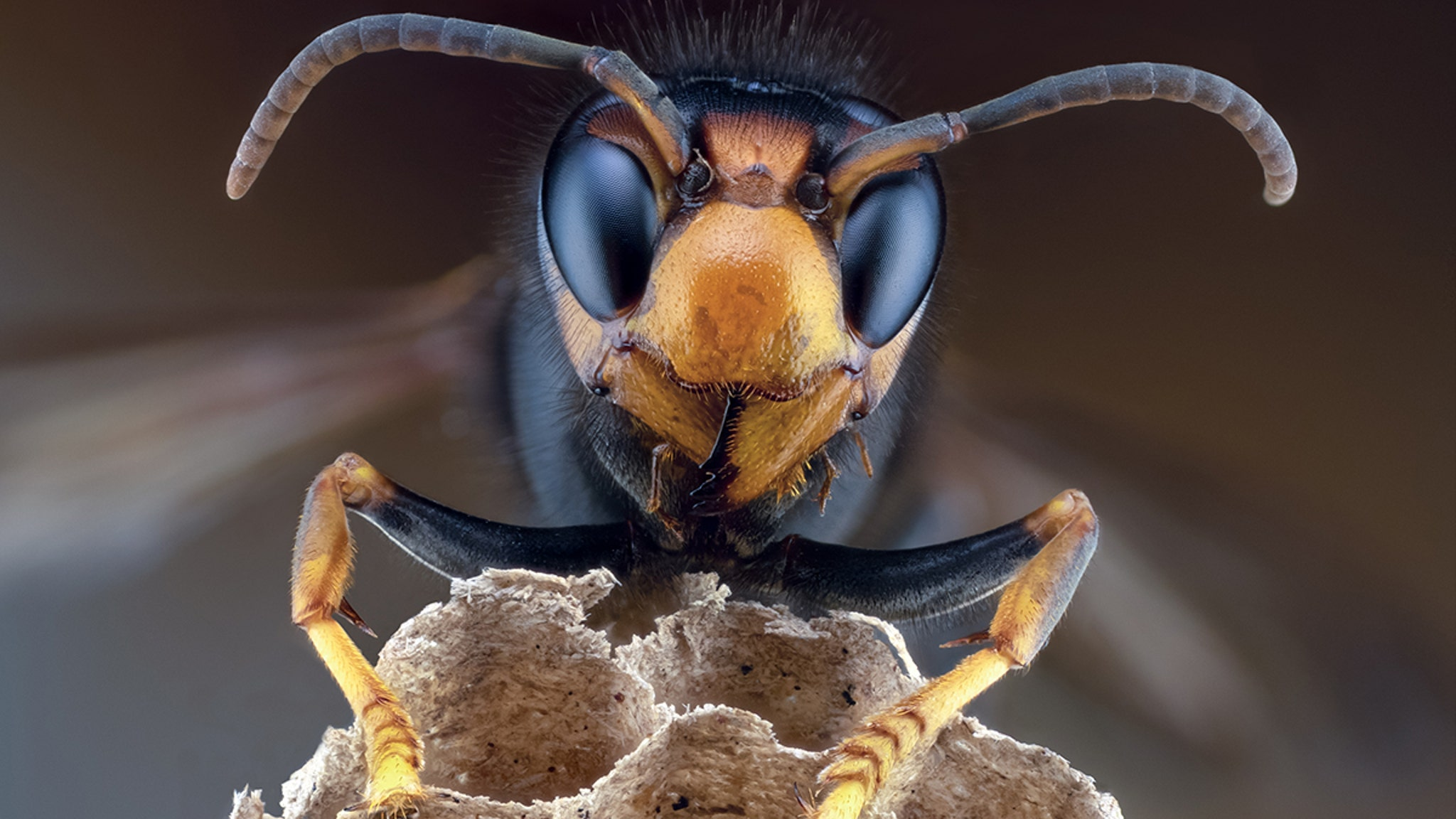 'Murder Hornets' Touch Down in N. America Capable of Killing Humans w/ Venom