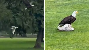 Bald Eagle Hunts Down And Eats Seagull On Golf Course, Insane Video!