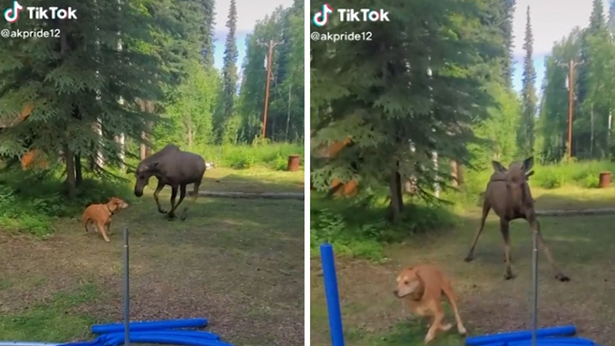 Crazy Video Moose Goes Toe-to-Toe with Chill Dog!!