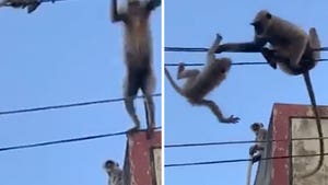 Mama Monkey Saves Baby Stranded on Power Lines in India
