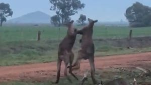 Two Kangaroos Box on a Farm, Leg Kicks to the Body Permitted