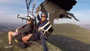 Vulture Catches a Ride with Paragliders Above Spanish Mountains
