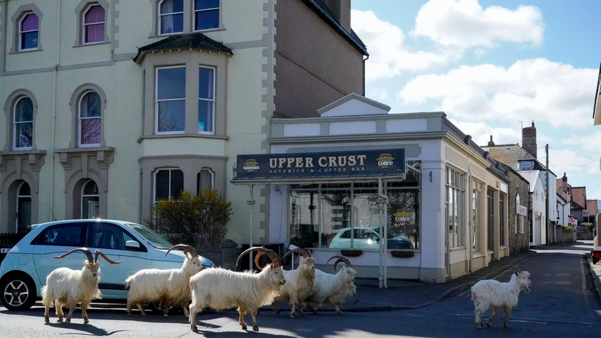 Goats Take Over Town in Wales