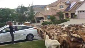 Running of the Goats on Residential Street in NorCal After Great Escape