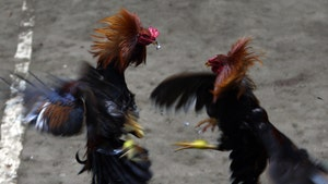 Rooster Kills Man During Illegal Cockfight in India, Slashed Owner In Groin