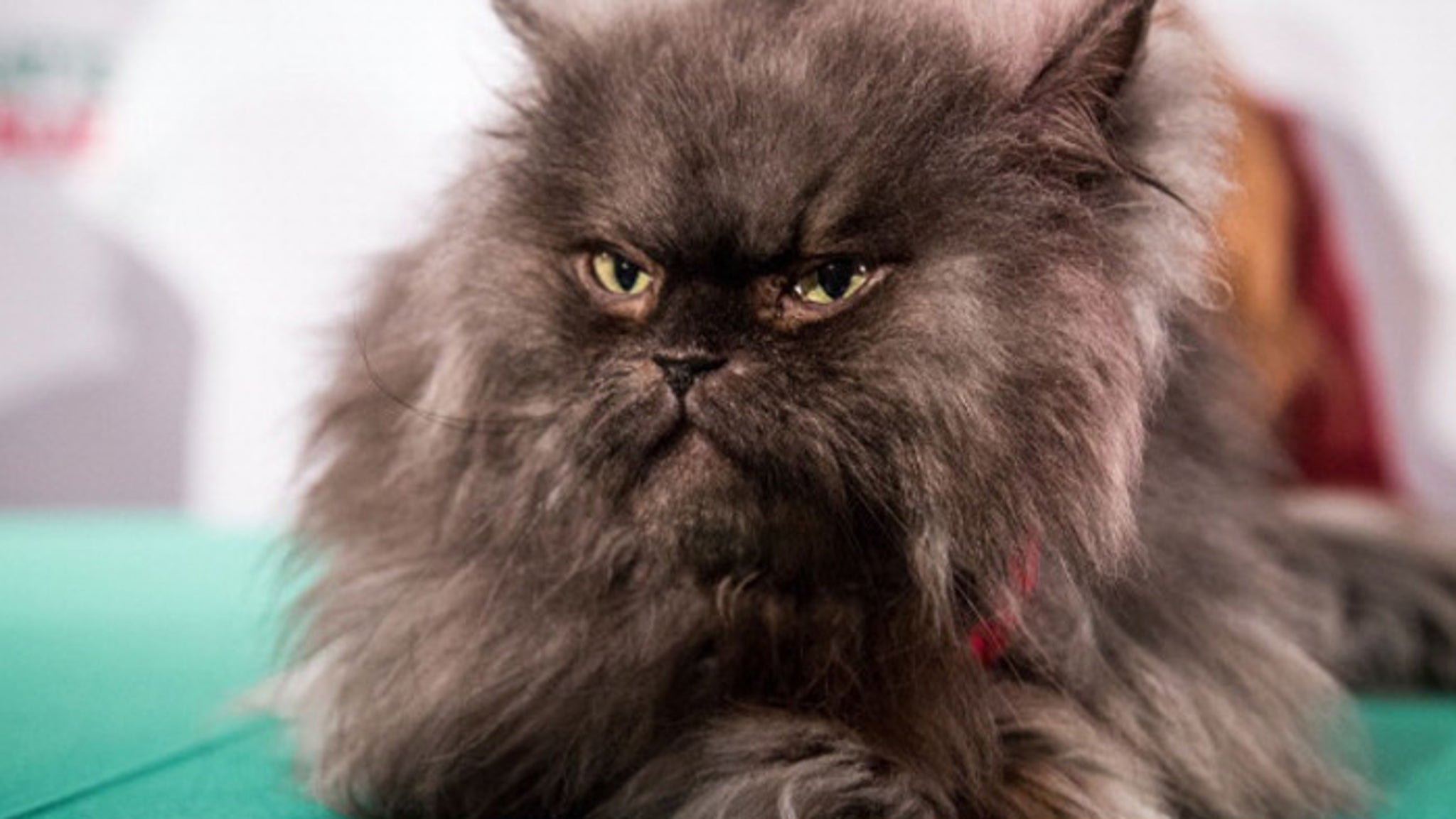 Colonel Meow Death Caused By Heart Cat Astrophy
