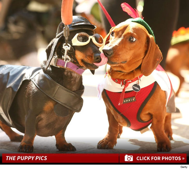 Adorable Dachshund Dog Racing In Melbourne -- Wiener Takes All!