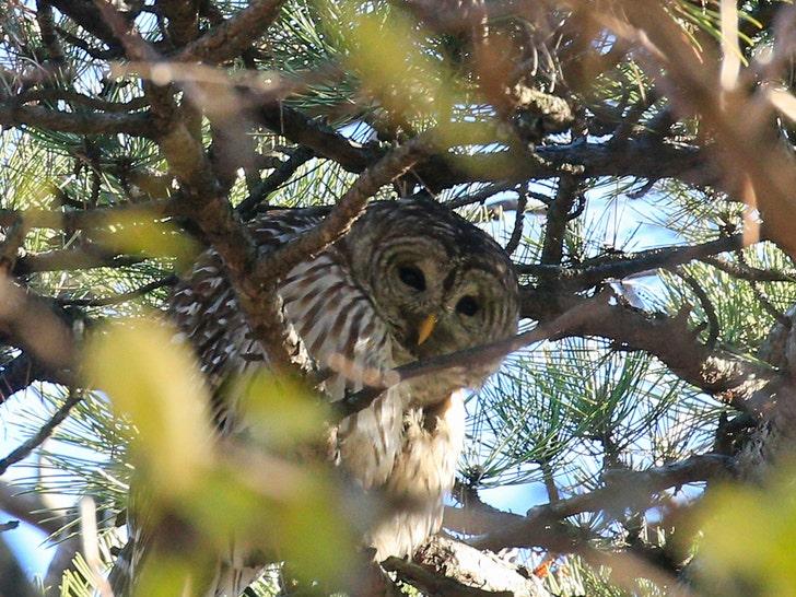 central park owl