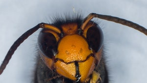 Asian 'Murder' Hornet Sightings Spike, Hardly Any Are Accurate
